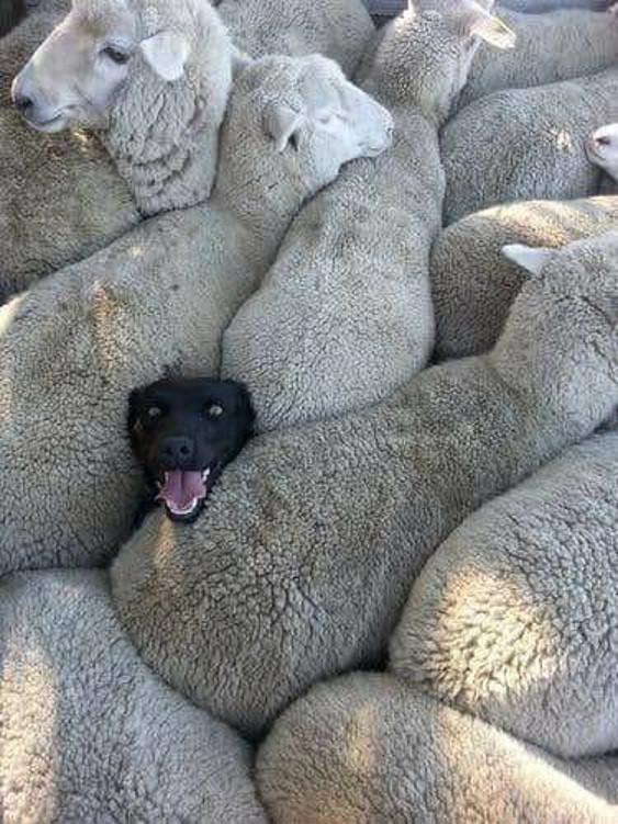 Sheepdog Fail
