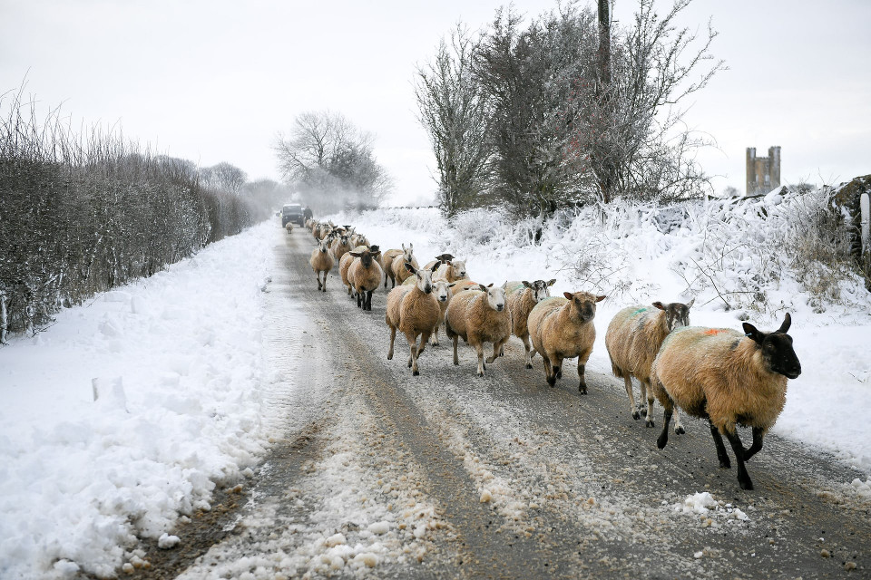 Sheep Snow Cotswolds
